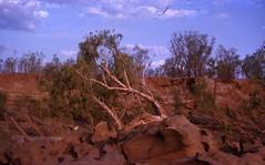 1963 - Bullocks Crossing Ord River takes 2hrs to fill Sydney Harbour - KHS-2010-1-ca-P2-D (Kununurra Historical Society) Tags: 1963bullockscrossingordrivertakes2hrstofillsydneyharbourkhs20101cap2d 19621963 khs20101cap2d kununurra diversiondam dam ordriver ordriverirrigationarea irrigation arthurperry dorothyperry perry palm kununurrahistoricalsociety khs hylik hylitk ohia khia westernaustralia australia arthurdorothyperrycollection kimberleyhistory