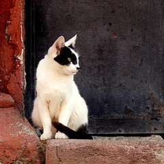 cat on adobe (msdonnalee) Tags: animals cat kat chat gato katze gatto animali blackandwhitecat photosfromsanmigueldeallende doublyniceshot tripleniceshot