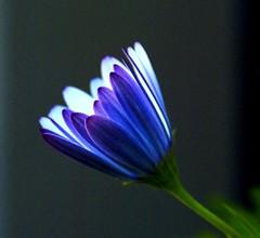intento / purpose (federico.soffici) Tags: flowers searchthebest sinfonia top20flowers impressedbeauty aplusphoto fioriepiante superbmasterpiece top20blue fotopensieri top20blueshalloffame