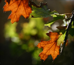Autumnal Approach (Jutilda) Tags: autumn orange brown green fall nature leaves oak dof bokeh mywinners aplusphoto
