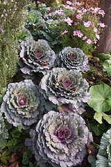 Cabbages in Cabbagetown (pic_snapper) Tags: toronto ontario canada flower canon cabbage cabbagetown 24105l 40d
