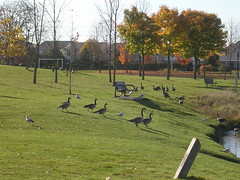 Geese heading to the pond