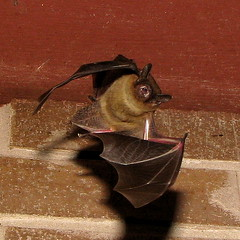 Flying Bat (jciv) Tags: halloween mammal flying scary teeth bat ihope file:name=img9649 notvampire