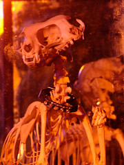skull and a half (istolethetv) Tags: brooklyn cat dayofthedead photo foto image snapshot picture taxidermy photograph diadelosmuertos gothamist gatto animale uni