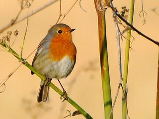 Pisco de Peito Ruivo - European Robin