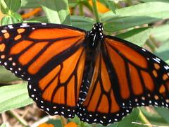 "Monarch Butterfly - Female (Claire DeLand ~ ""GA Music Maker"") Tags: female butterfly insect monarch favorited danaus plexippus g7 danausplexippus adairsvillega flutteryfriday colorphotoaward macromarvels novembermonarch"