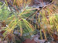 Pines in the pine barren (jnoc) Tags: massachusetts montague montagueplains