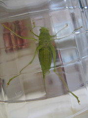 IMG_2002 (sarahfriedlander) Tags: katydid grasshoper