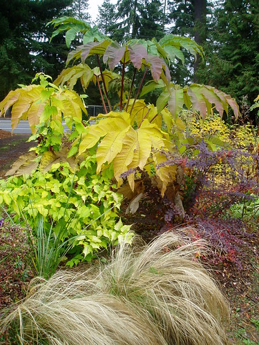 Late Fall Tetrapanax Berberis Leycesteria and Stipa