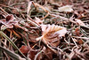 Frosty Leaves (torimages) Tags: leaves sd allrightsreserved frostfrosty donotusewithoutwrittenconsent copyrighttorimages