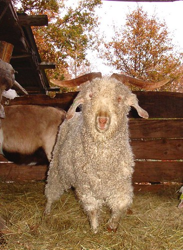 Tolcarne Puck Angora goat