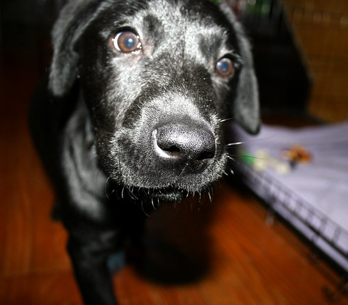 Midnight our Lab puppy