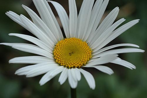 daisy new year