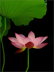 Lotus Flower - IMGP3691 (Bahman Farzad) Tags: china pink flowers plants india white inspiration plant flower eye art water tattoo thailand design leaf petals truth colorful cambodia soft peace photographer lily graphic image lotus blossom designer fineart fine calming award peaceful teacher international exotic national photograph lilly sacred unusual therapy budha elegant inspirational spiritual simple hindu author saigon soulful heavenly farzad buda tatto winning peacefulness devine indias lotusflower therapist bahman lotusflowers buzzfilter nationalflowerofindia bahmanfarzad soulfulflower