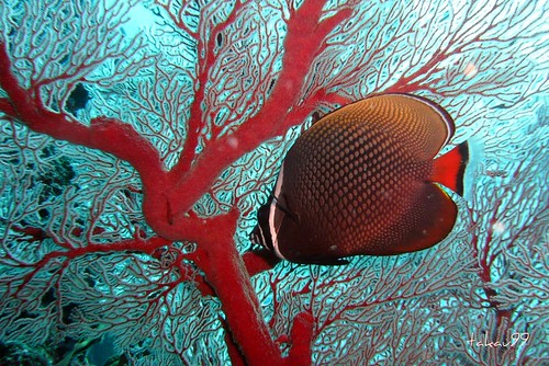 Sea Fan and Butterflyfish, Thailand