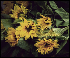 Sunflower (Chip bông♥) Tags: fpc