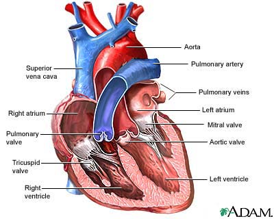 diagram of heart anatomy