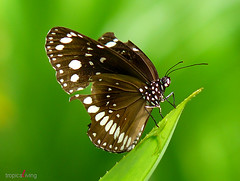 my broken wings (tropicaLiving - Jessy Eykendorp) Tags: bali macro nature animal fauna butterfly insect indonesia geotagged photography bravo asia panoramic spiderfood specanimal animalkingdomelite platinumphoto diamondclassphotographer flickrdiamond natureoutpost tropicaliving beautifulbali ahqmacro mybrokenwings tropicalivingtropicallivingtropicalliving panasoniclumixdmcfz8panasoniclumixdmcfz8 jessyce geo:lon=115157318 geo:lat=8817225