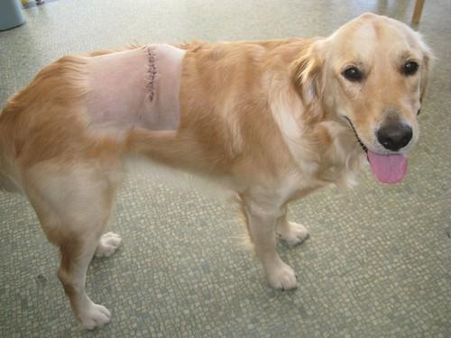 Rosie post surgery