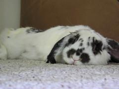 Marzi-Flop (hervioletsky) Tags: bunny carpet marzipan flop