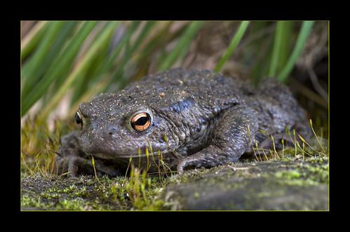 Common Toad Bufo bufo Kenley Surrey