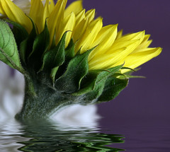sunflower on purple (jodi_tripp) Tags: white flower macro reflection green nature water yellow purple sunflower joditripp spring08 wwwjoditrippcom photographybyjodtripp