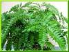 Adiantum latifolium (Broadleaf Maidenhair)