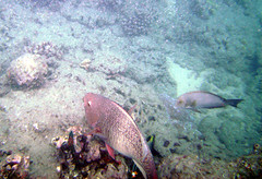 Spectacled Parrotfish (racketrx) Tags: hawaii underwater oahu snorkeling hanaumabaynaturepreserve