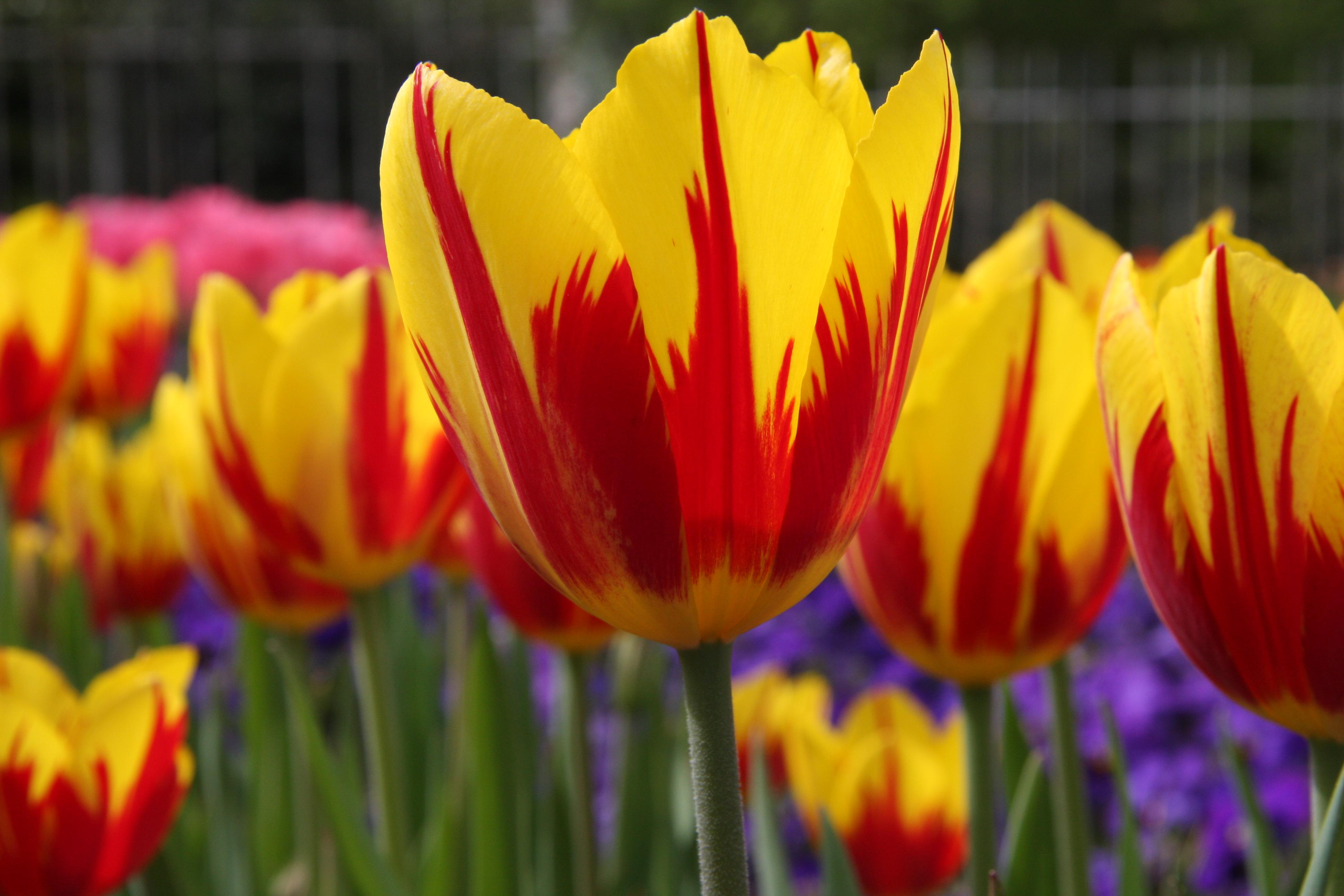 tulipa vermelha e amarela