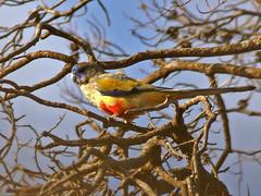 Blue Bonnet (Northiella haematogaster) (David Cook Wildlife Photography) Tags: birds bluebonnet australia nsw australianbirds northiellahaematogaster kookr cocoparranationalpark