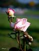 "Roses_025.jpg (HVargas) Tags: road flowers beautiful closeup canon wonderful lens eos petals gorgeous fave interstate canoneos soe republicadominicana smörgåsbord photoshopelements naturesfinest canoneos5d canonlens exemplary supershot amazingshot canonef180mm digifoto golddragon ef100400mm 40d abigfave canonrebelxti canoneosdigitalrebelxti platinumphoto anawesomeshot aplusphoto ultimateshot digitaleeanalogico flickrplatinum flickrenvy superbmasterpiece goldenphotographer diamondclassphotographer flickrdiamond megashot canoneos40d ysplix excellentphotographerawards theunforgettablepictures amazinshots wonderfulworldmix kuwaitartphoto canonef28300mm betterthangood theperfectphotographer goldstaraward ef28300mm hvargas spiritofphotography ""ourmasterpieces canonef28300mm13556lisusm canoneosdigitalxtirebel canonmacroef180mm canonef28300mml ef28135mmf35"