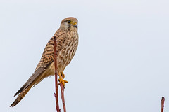 Common Kestrel (keynowski) Tags: commonkestrel kerkenez falcotinnunculus bird birdofprey nature ngc animalplanet animal canon70d canonef400mmf56lusm