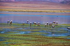 Colours of Atacama. (david takes photos) Tags: losflamencosnationalreserve reservanacionallosflamencos salardetara tara atacama chile flamingo flamingoes sanpedrodeatacama regiã³ndeantofagasta x