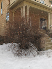 Likeable residential bush. (Tim Kiser) Tags: 2014 20140323 annarbor annarbormichigan catherinestreet img6836 march march2014 michigan oldfourthward oldfourthwardneighborhood washtenawcounty washtenawcountymichigan bush frontporch frontyard house ornamentalshrub porch shrub snow southeastmichigan southeasternmichigan staircase stairs steps unitedstates