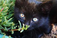 Peek-A-Boo (AcidAndBile) Tags: cat kitten kitty little cute macro colour portugal summer hot black adorable eyes