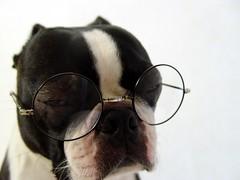 "May 18 2011 [Day 198] Bonus ""It's Going To Be A Long Day!"" (James_Seattle) Tags: dog dan boston bostonterrier glasses blackwhite sony 1988 may harrypotter cybershot bonus k9 year1 dscf717 2011 sonycybershotdscf717 dogincostume theinnocents harryjamespotter alittlerespect jamesseattle 31daysoferasuresongtitles harrypottersglasses"
