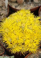 Lithops divergens (Etwin1) Tags: lithopsflowers lithopsdivergens amazinglithops yellowfloweringstoneplant