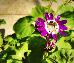 (kritika dewan) Tags: flower bee honey