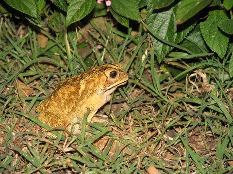 un id frog