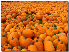 The Pumpkin Sea (Lisa-S) Tags: autumn orange ontario canada fall halloween grass rural farm lisas pumpkins harvest vivid explore crop repetition stems soe allrightsreserved invited lcbo themoulinrouge caledon naturesfinest supershot interestingness221 i500 3466 mywinners superbmasterpiece megashot colourartaward platinumheartaward vividmasters artlegacy thegardenofzen thegoldendreams getty2009 soldongetty copyrightlisastokes getty20090217