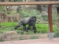 Gorilla at Los Angeles Zoo