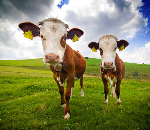 Two Cows by kwerfeldein.