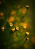 yellow :) (AraiGodai) Tags: macro yellow interestingness interesting bangkok dot explore breathtaking naturesfinest royalgarden araigordai mywinners suanluangrama9 raigordai araigodai