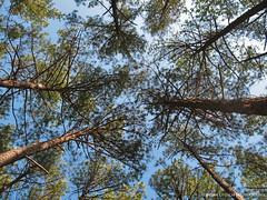 The Trees (shutterBRI) Tags: trees sky canon nc northcarolina raleigh powershot lookup tall 2007 a630 rtp shutterbri brianutesch brianuteschphotography