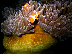 Mutualism (p@ragon) Tags: sea fish underwater philippines scuba diving clownfish anemone anilao batangas reef coralreef marinelife paragon symbiosis tropicalreef mywinners wpdc9 anilao2008