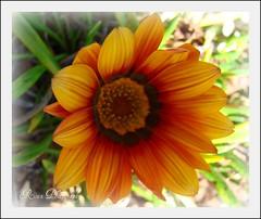 Have a great week-end my friends.. (sallysue007) Tags: orange nature daisy soe naturesfinest masterphotos golddragon flickrgold shieldofexcellence anawesomeshot ithinkthisisart citrit flowermacroworld dragongoldaward