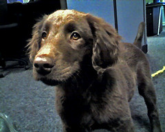 Cameraphone Sugar (black dog_brown dog) Tags: dog brown puppy retriever sugar flatcoat liver fcr flatcoatedretreiver