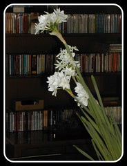Paperwhites and music