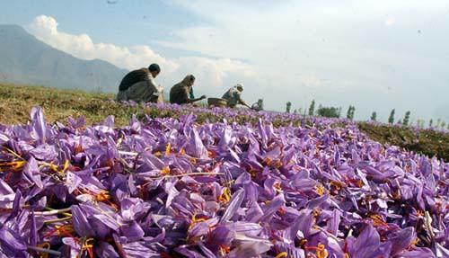 saffron kashmir 05