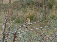 Amitavati Hoopoe in the garden